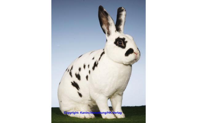 Dalmatiner-Rexe, schwarz-weiß