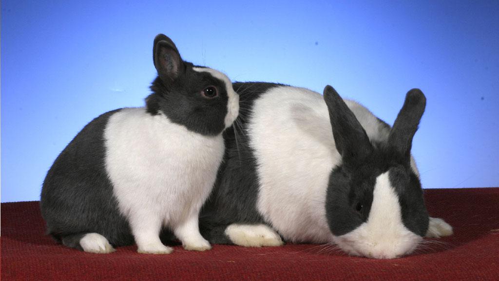 Beitragsbild-Die-Geburt-bei-Kaninchen